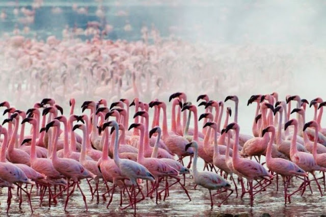 Flock of flamingos at Lake Nakuru, flamingo photos, flamingo pictures, flamingoes pics