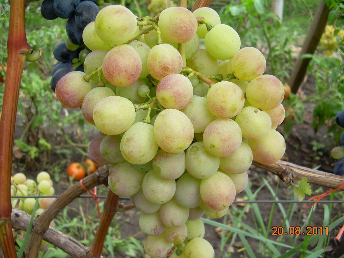 Какие сорта винограда не надо укрывать.