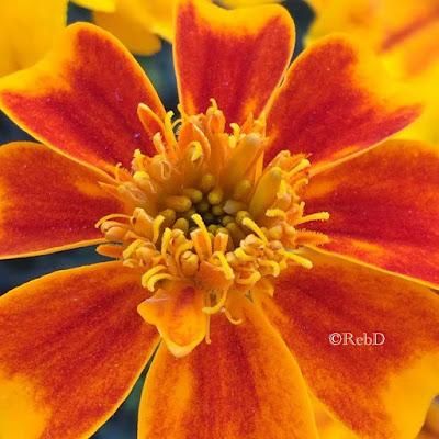 Orange blomma med rödaktiga kronblad. Foto: Reb Dutius