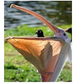 ... burung pemakan ikan ciri ciri paruh burung pelikan