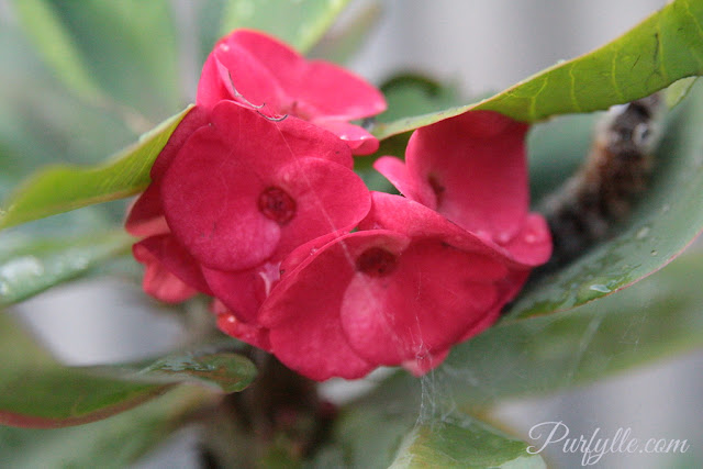 euphorbia milii aka crown of thorns