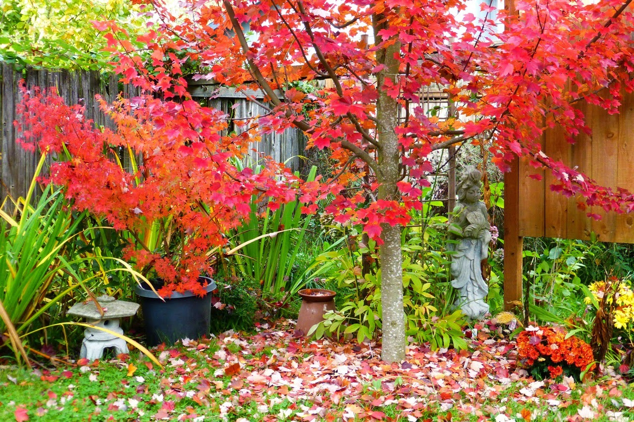 Japanese maple, autumn blaze, fall color, garden, falling leaves, Quan Yin
