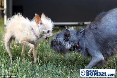 Pertandingan Anjing Paling Hodoh