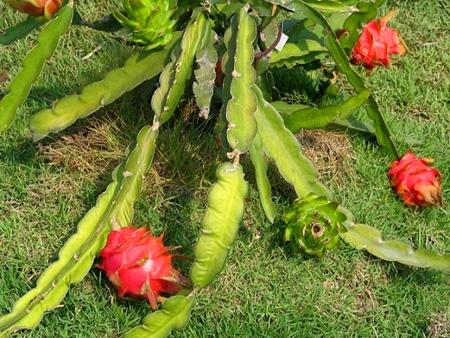Fruit warehouse gragon fruit pitaya - Arbre fruit du dragon ...
