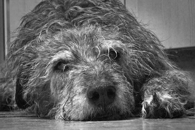 Forpjusket gammel hund