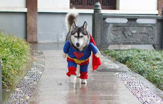 wallpaper lucu anjing superman