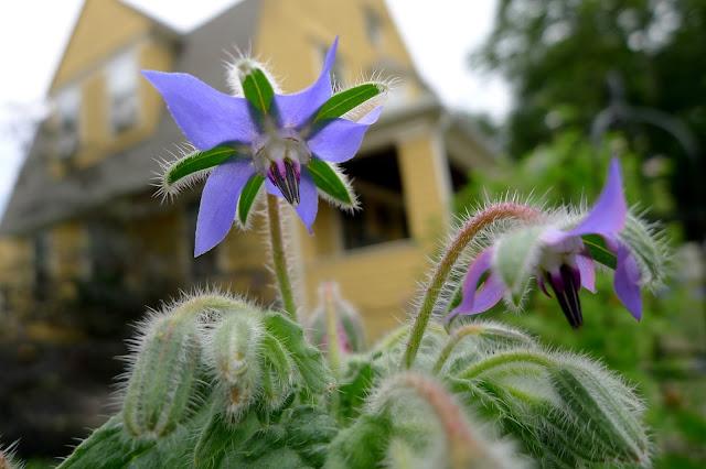 Borage, edible flowers
