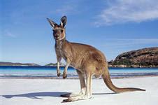 Обои Австралия кенгуру