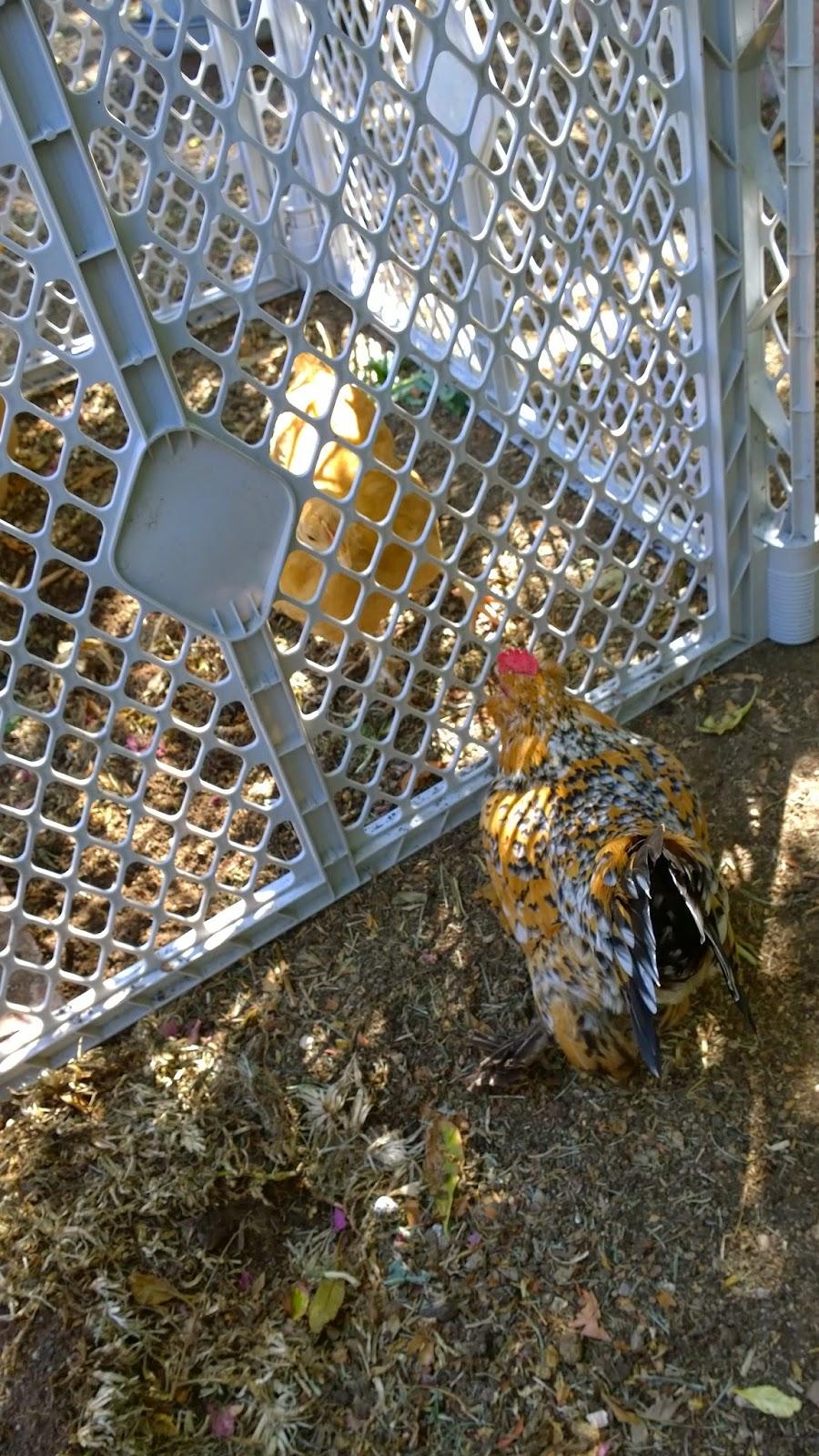 raising baby chicks vs. pullets, integrating a flock