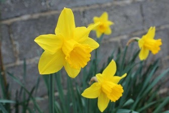 Yellow Daffodils 2014