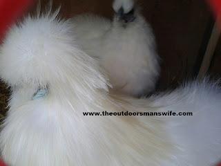 White silkie chicken pair