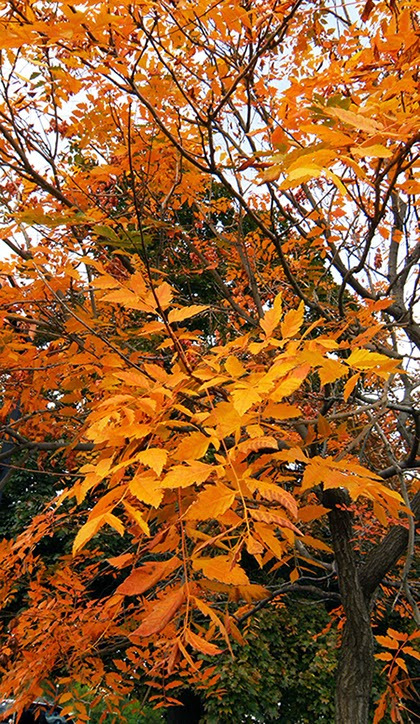 Many Compound Yellow Leaves on Tree
