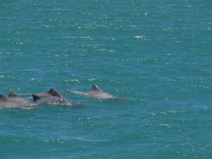 Os Botos ou Golfinhos em frente ao Coco Beach