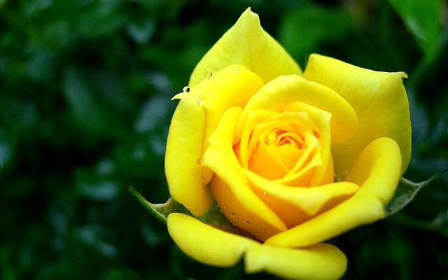 cute yellow rose