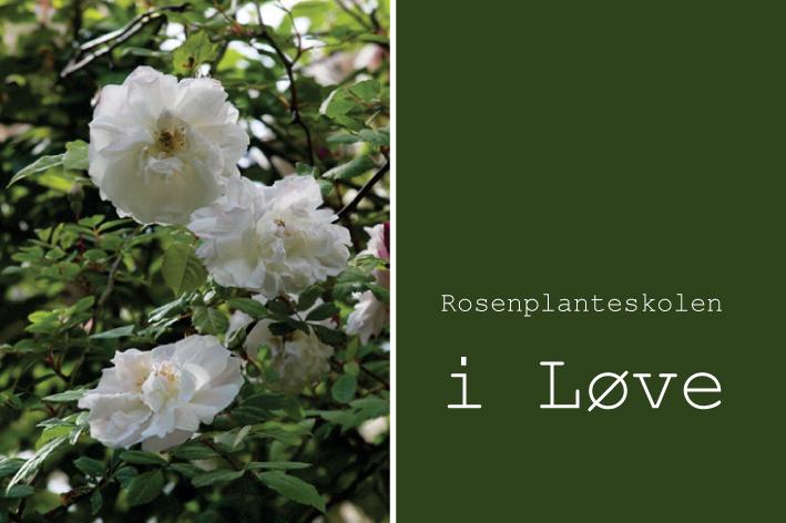 tegningen af roser