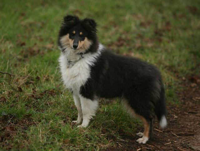 Since I had Australian Shepherds before the sled dogs, I have a