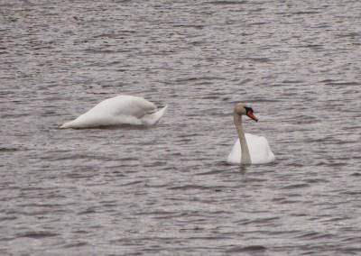 swans dabbling