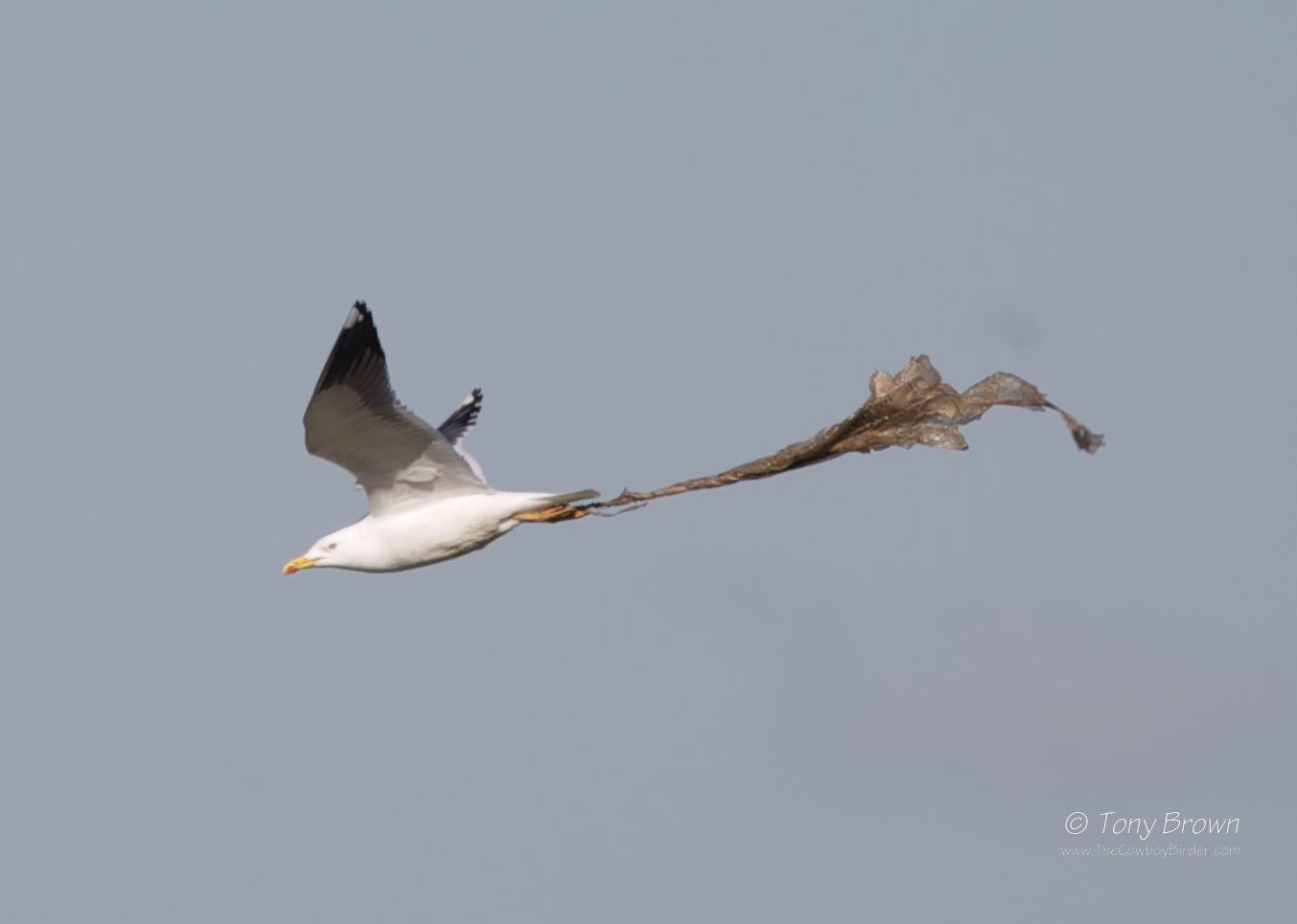 Rainham, Gulls