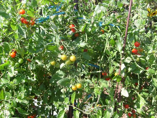 ma plan te jardin sweet 100 une tomate cerise prolifique qui peut se tailler. Black Bedroom Furniture Sets. Home Design Ideas