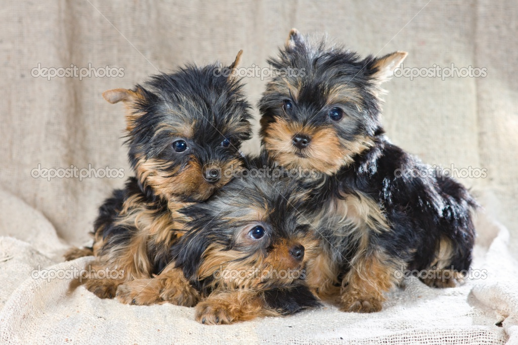 Cute Puppy Dogs: Yorkshire Terrier Puppies