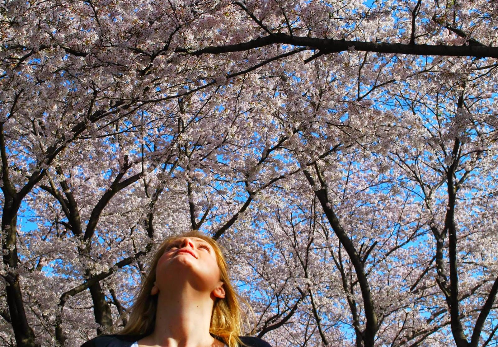 hwagae-cherry-blossoms