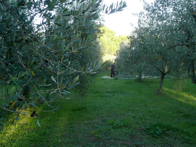 uliveto, ulivi, reti, raccolta delle olive,