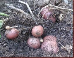 Budidaya, kentang, cara menanam, tanaman kentang