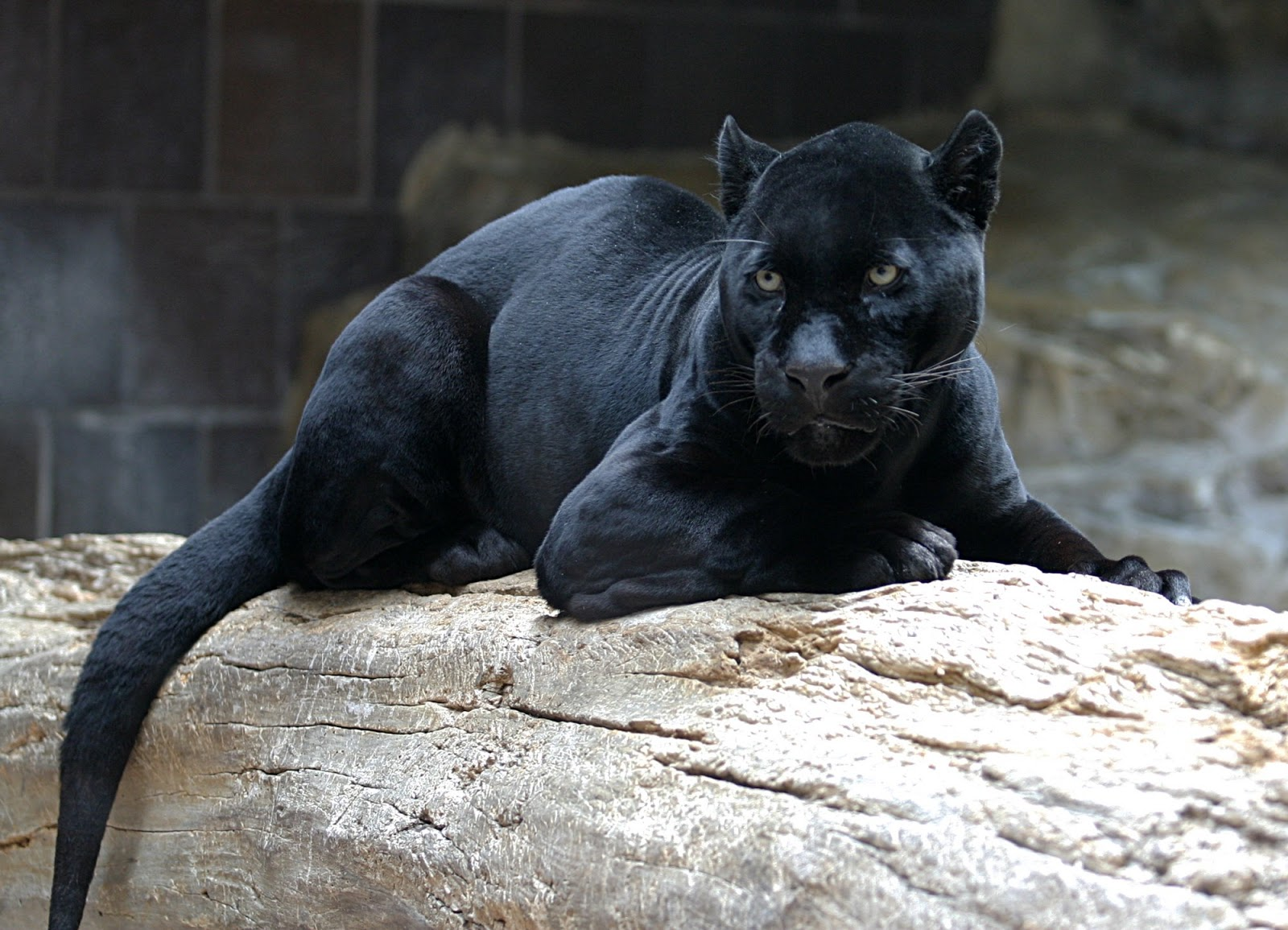 Jaguar asesinado aparece en Facebook Semana com - imagenes de jaguares animales