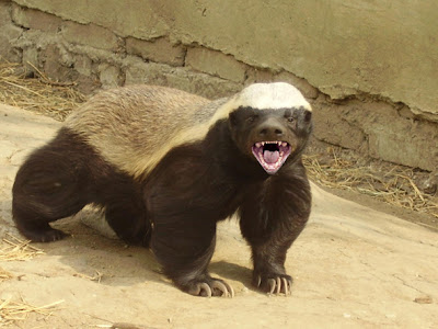 Honey Badger: Interesting Facts &amp; Pictures