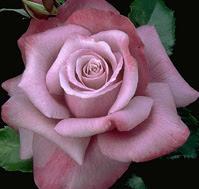 trandafirul-barbra-streisand