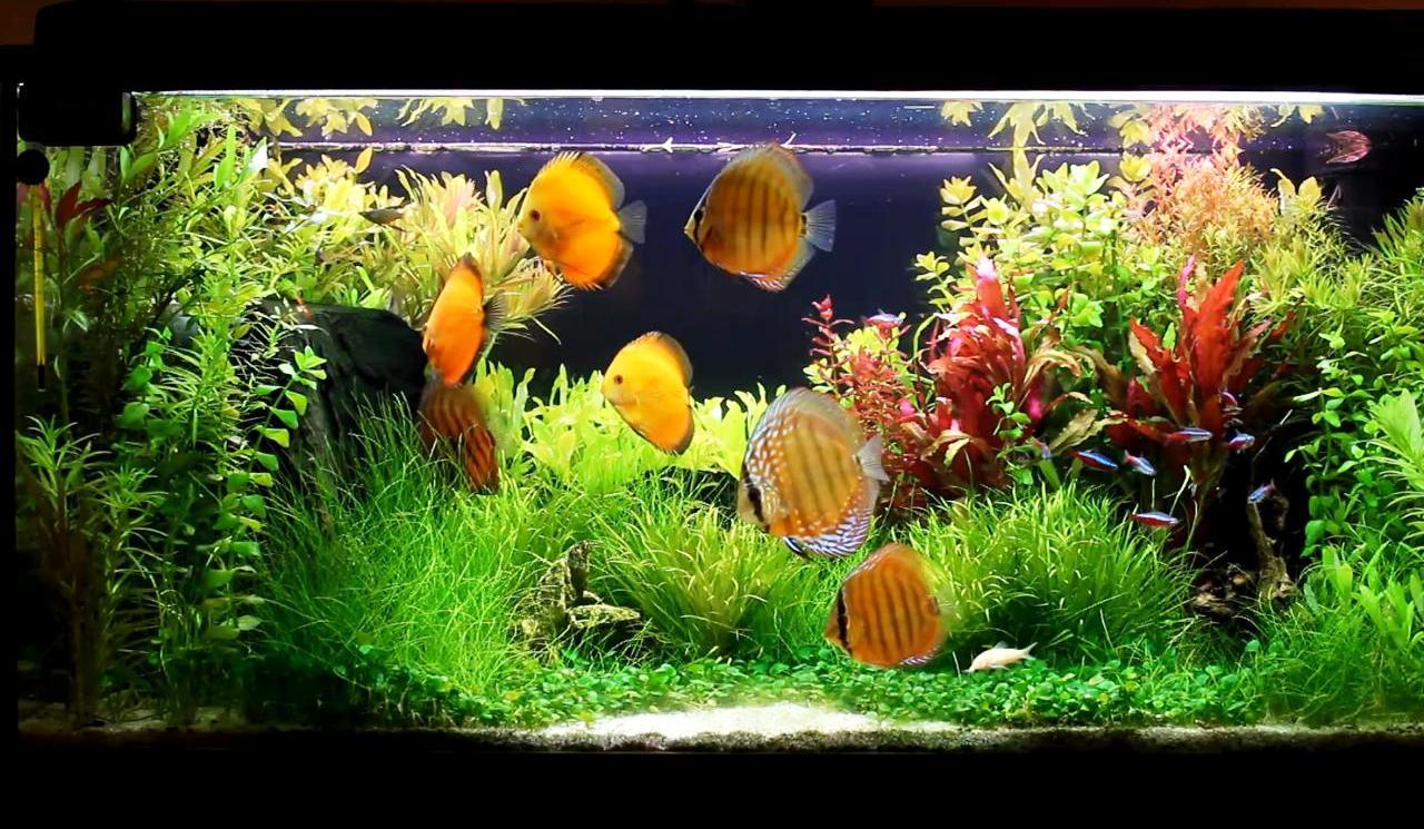 Fish species n 3 discus symphysodon discus feast for Best freshwater aquarium fish