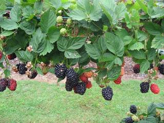 ripe blackberries on the vine