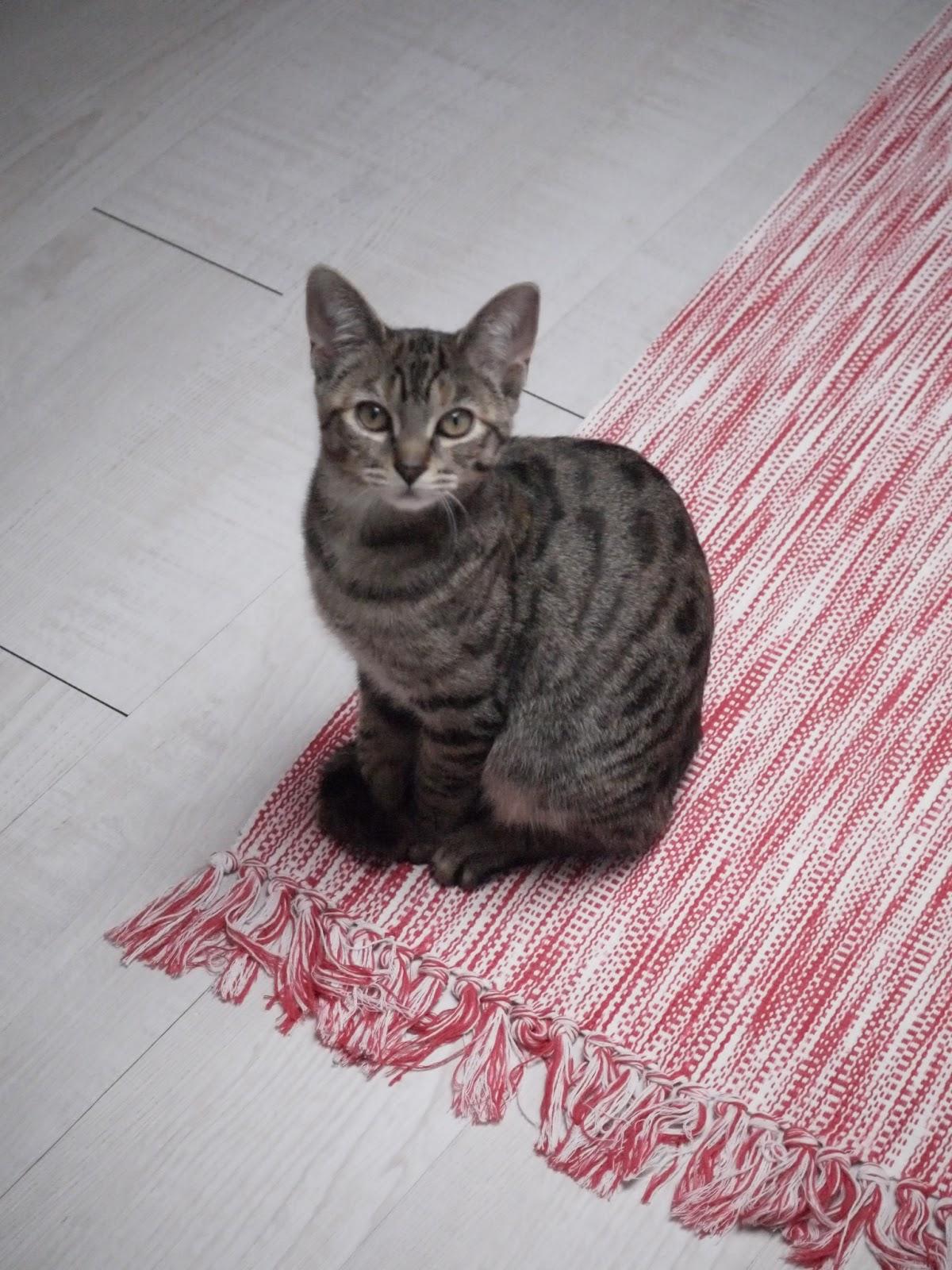 le chat sur le tapis rose