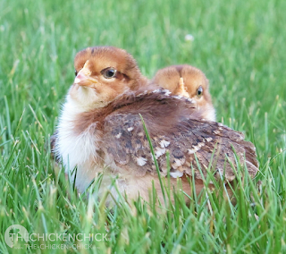 "The main factor in crop problems is prevention.  DON'T give your hens access to long, lush, springy grass, twine or other long, stringy things that they can eat.  DO make sure that there is plenty of good, palatable water near where the hens will be foraging.  If you yard is large, and you have some ""bully"" birds, it is a good idea to provide a few ""drinking stations"" where timid birds can get some water while they are feeding."