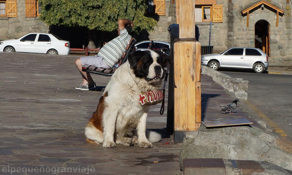 Perro San Bernardo, perro, Bariloche