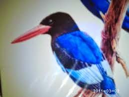 Foto Burung Tengkek Supit Terbaik