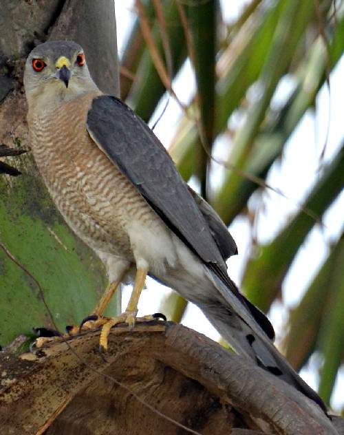 Indian birds - Image of Shikra - Accipiter badius