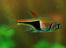 Freshwater Aquascape Fish Rasbora Photo
