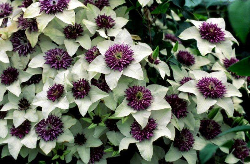 how to grow clematis florida 39 sieboldii 39 the garden of eaden. Black Bedroom Furniture Sets. Home Design Ideas
