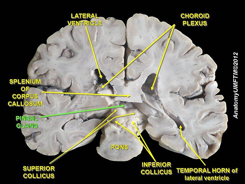 Lost World Pineal Gland The Third Eye Of The Human Body