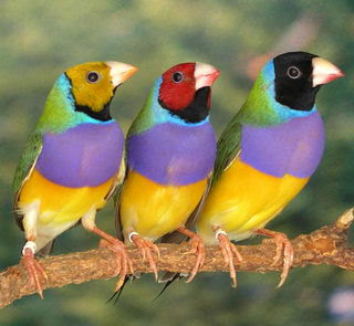 Diamantes de Gould