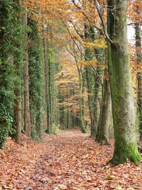 A wide path through the woods,a thick layer of fallen beach leaves under foot