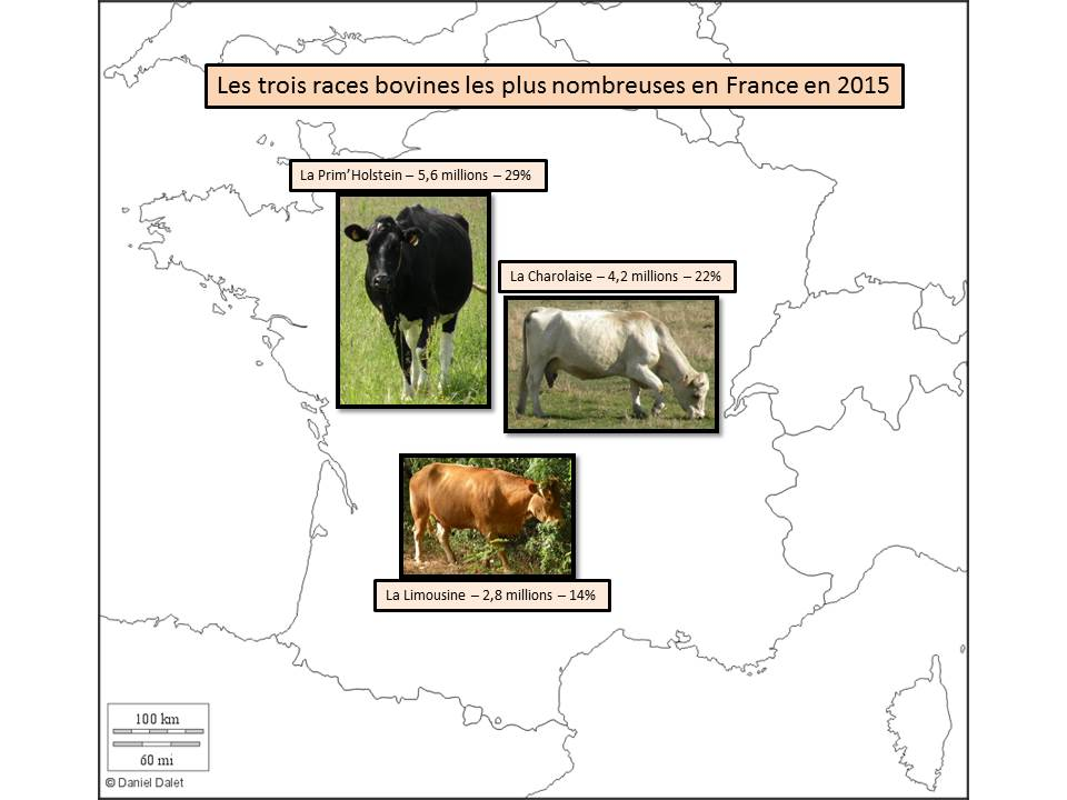 Les trois races bovines les plus nombreuses en France en 2015
