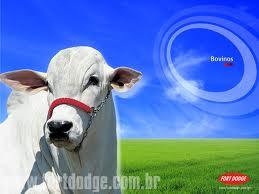 bovinos en ceba