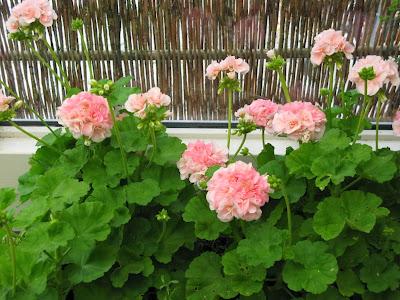 Alle overvintrede pelargonier står i fuld blomst nu