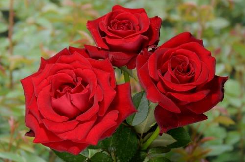 Ingrid Bergman rose сорт розы фото