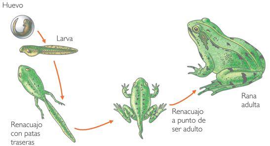 http://www.primaria.librosvivos.net/archivosCMS/3/3/16/usuarios/103294/9/Metamorfosis_rana/metamorfosis_rana.swf