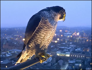 peregrine falcon looking down on the city from a high rooftop
