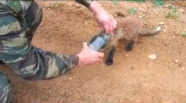 Fox with head stuck in jar approaches humans for help (Video)