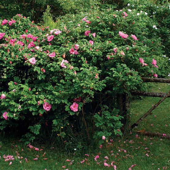 Muitas vezes Um jardim para cuidar: Plante rosas no seu jardim TD09